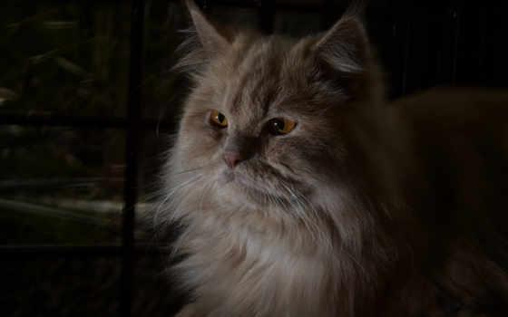 кот, рыжий, лежит, пушистый, похожие, животные, italian,
