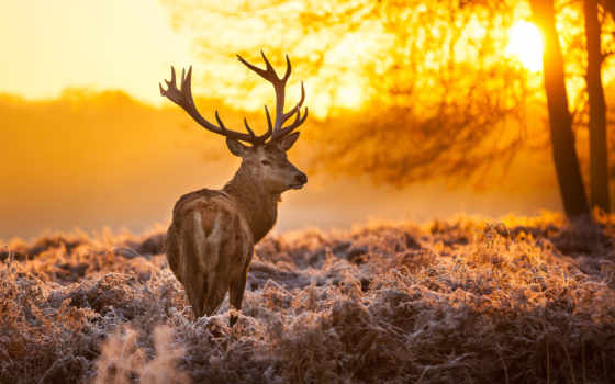 лань, природа, рога