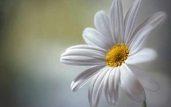 cvety, красивые, картинка, белая, ромашка, микс, розы, обойный,