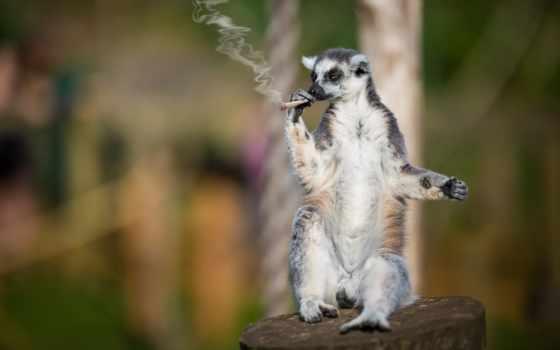 lemur, прикольные, смешные, приколы, заставки, красивые, самокрутка, курильщик, сидит,