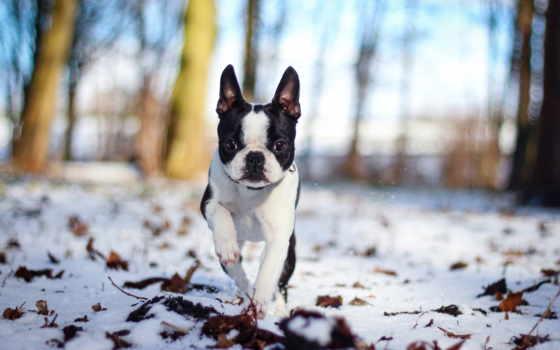 bulldog, french, картинка, опт,
