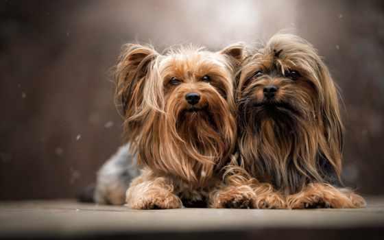 dogs, собаки, йоркширский