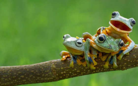 лягушки, камбо, лягушке, фактов, интересных, других, many, гиря, обитают,