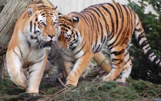 tiger, high, widescreen
