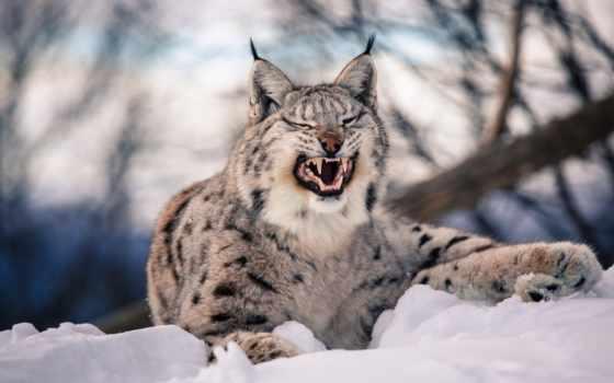 рысь, кот, хищник