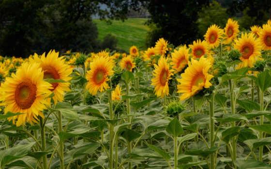 цветы, подсолнухи, campos