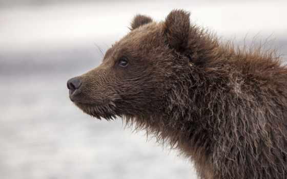 медведь, морда, profile