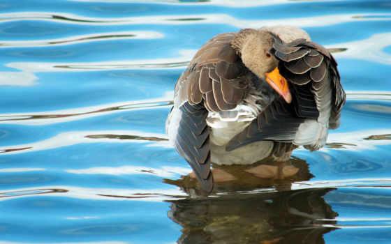 перья, птица, крылья, goose, water, zhivotnye,