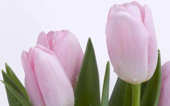 цветы, красивые, тюльпаны