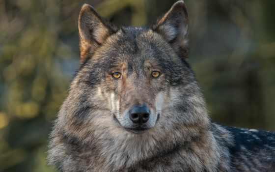 волк, взгляд, zhivotnye, волки, картинка, морда, смарт, снег, devushki, наклейки,
