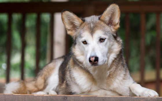 собака, глаза, грустный, eyes, цена, купить, морда, low, cloth,