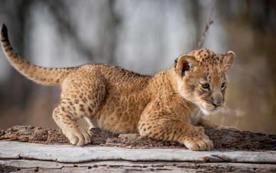 guepardos, pantalla, animales