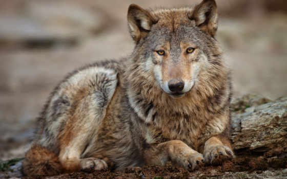 яndex, волк, коллекциях, card, коллекцию, посмотрите,