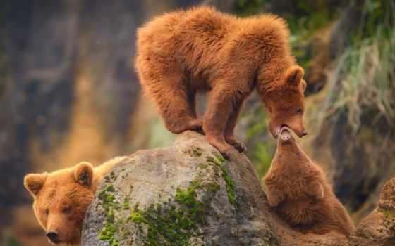 медведь, семья, cantabrium, cabarceno, испания, браун, arcto, ursus, grizzly