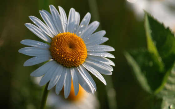 ромашки, цветы, макро, каплях, разных, воды, разрешениях,