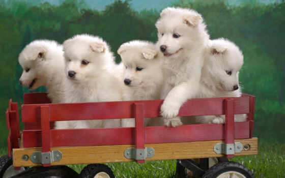 samoyed, dogs, puppies, desktop, wagonload, our,
