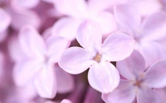 cvety, сиреневый, лепестки, планом, весна, крупным, макро,