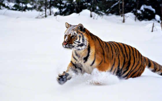 tigar, тигры, тигр, životinja, рыжие, прохождение, je, sibirski, кошачья, felidae, zivotinja,