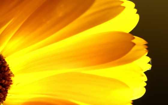 , цветы, желтый, лепестки,