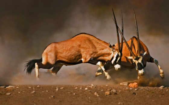 oryx, antilopen, beim, kampf, johan, swanepoel, von, плакат, posterlounge, günstig,