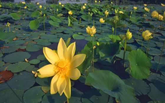 лилии, желтые, пруд, листья, цветы, водяные,