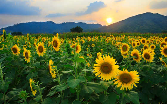 подсолнухи, поле, цветы