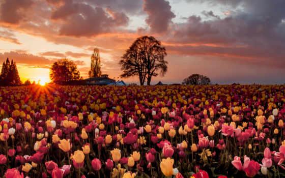 тюльпаны, поле, цветы