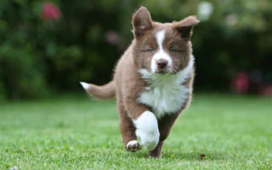 колли, border, щенок, трава, бежит, колли, собака,