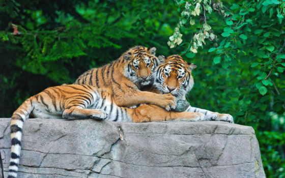тигры на камне