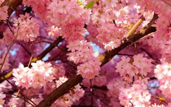 цветы, розовые, розовый