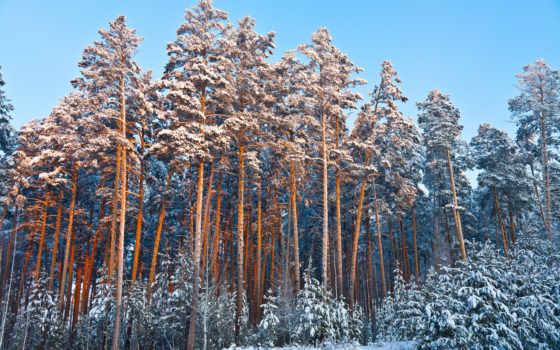 winter, zima, tapety, снег, сосны, лес, елки, las,