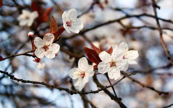 cherry, flowers, слива, весна, розовый, white,