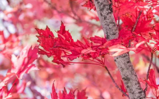fondos, осень, листва, дерево, página, листья, maple, por, imágenes,