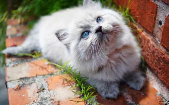 морда, котенок, сиамская кошка, усы