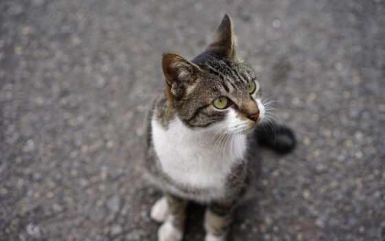 кот, domestic, порода, short, глаз, взгляд, волосы, сиамский