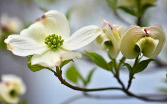 кизил, цветы