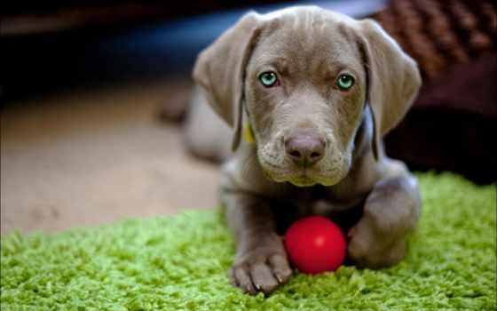 собаки, веймаранер, веймарская, зооклубе, легавая, гав, zhivotnye,