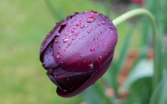 цветы, тюльпаны, бесплатные