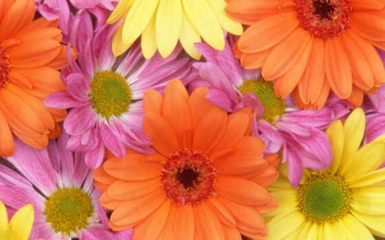 цветы, герберы, daisies
