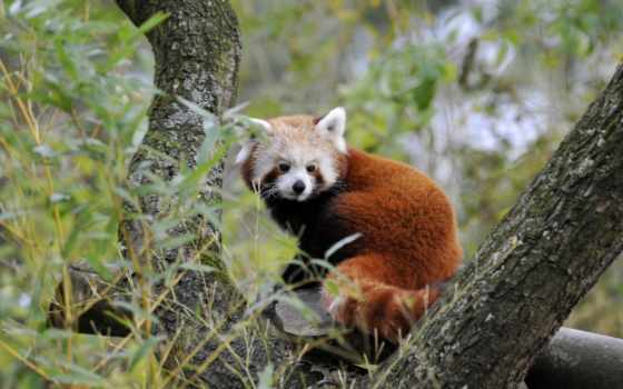 панда, мб, red, яркие, янв, высококачествен,