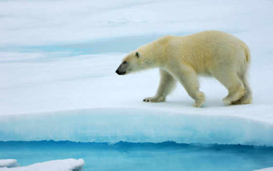 polar, медведей, ну, белых, врагов, антарктиде, пропавшие, росгидромет, white, hielo,