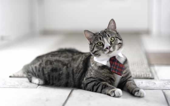 кот, кошки, ошейник, взгляд, домашняя, морда, галстуке, белая, everything,