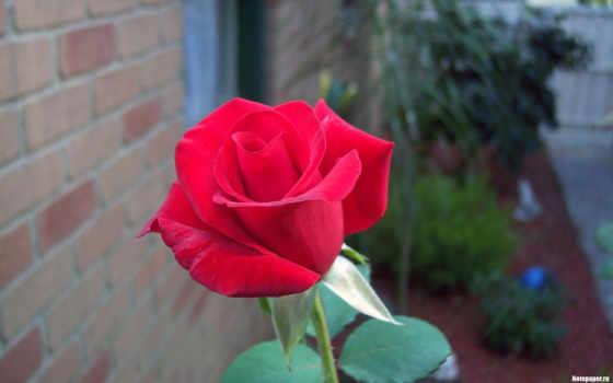 red, роза, desktop, flowers, зелёный, розы,