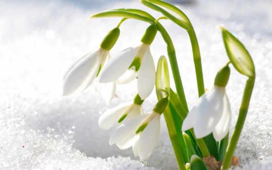 jsou, plochu, sněženky, день, master, подснежника, obrázek,