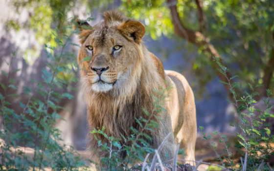 lion, ik, sterk