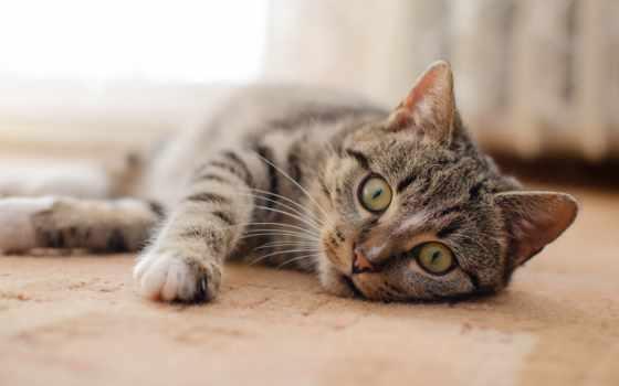 кот, could, собака, shorthair, ли