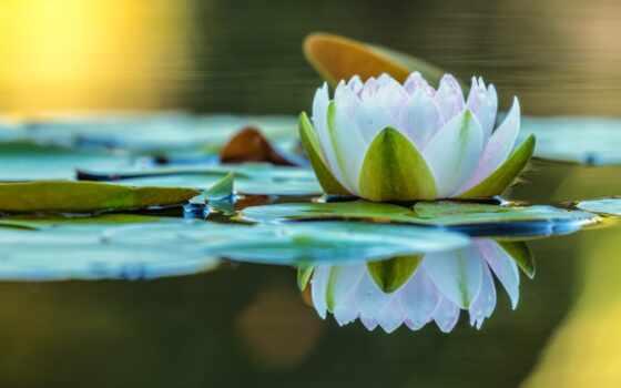 water, lily, пруд, leaf, цветы, озеро, природа, отражение, nymphaeum, тематика, зеркало