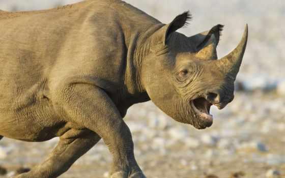 злой, фотографии, интересные, изображения, носорог, носорогов,
