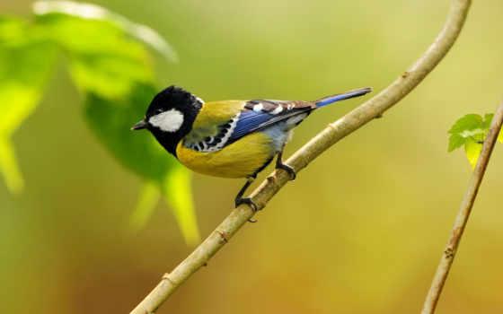tit, магнит, птицы
