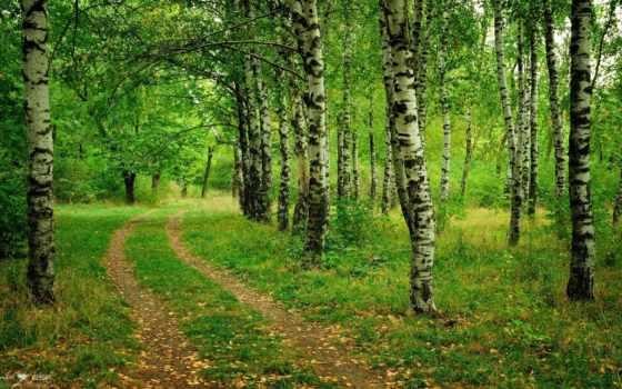 лес, зелёный, деревя